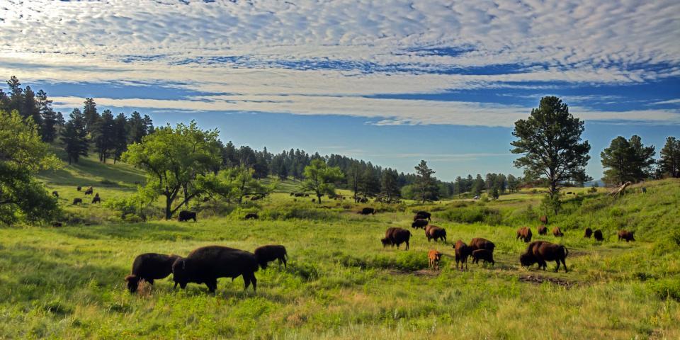 ventdouxprod nicolas barbier black hills buffalo