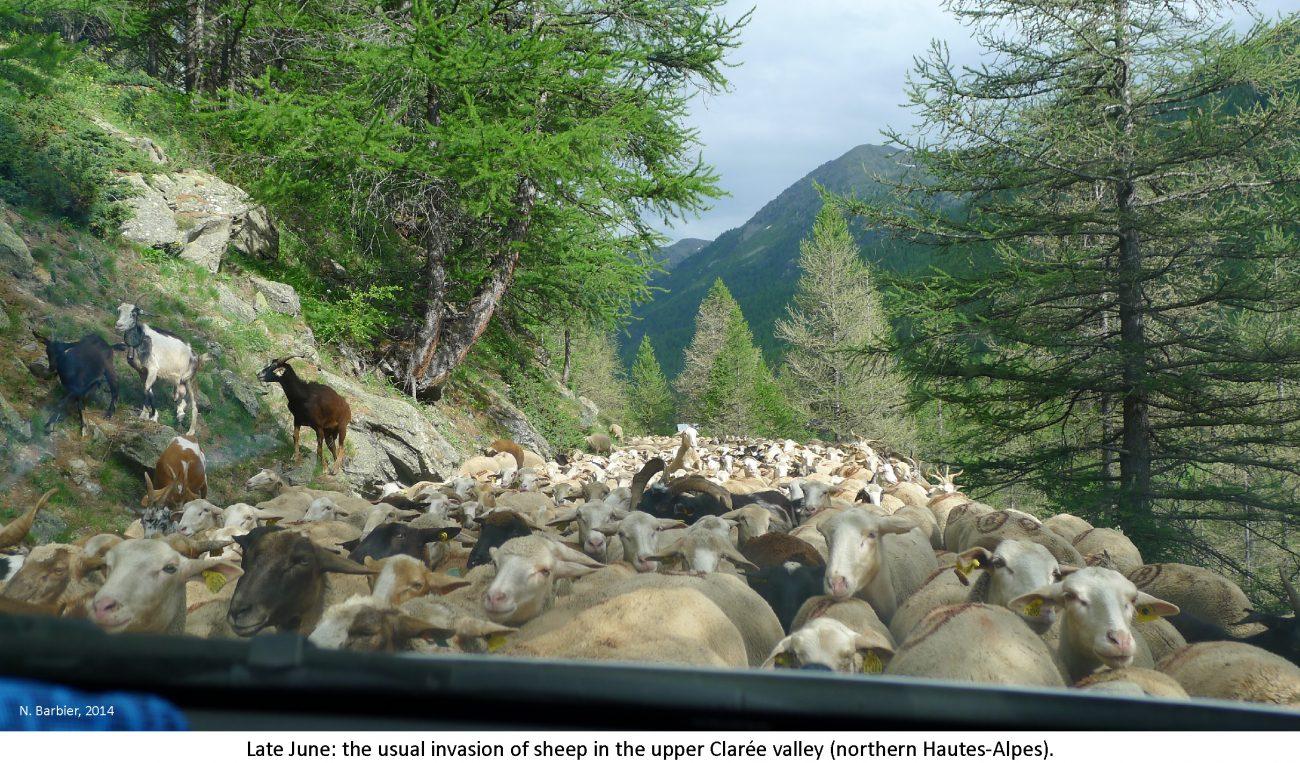 ventdouxprod 2018 nicolas barbier cars sheep large landowners winning trio hautes-alpes before hangover over sheep invasion Clarée