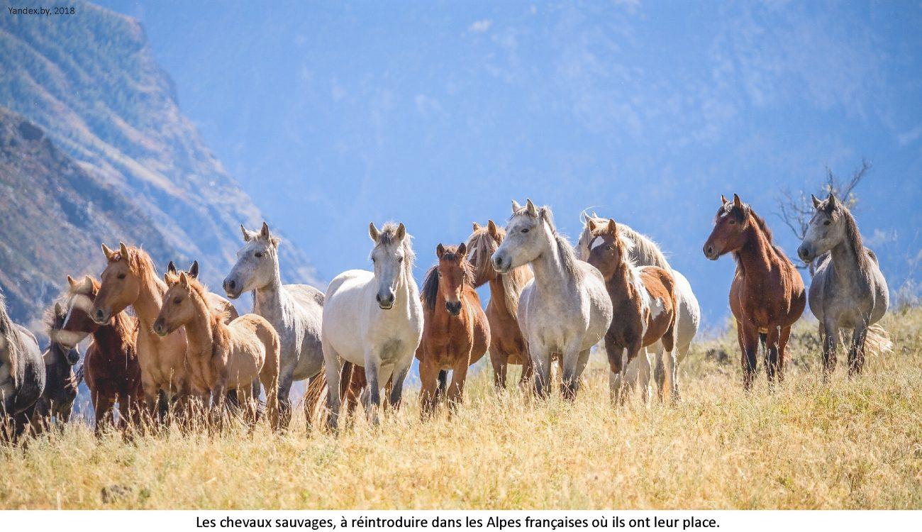 ventdouxprod 2018 chevaux sauvages à réintroduire dans les alpes nicolas barbier hautes-alpes autos ovins gros proprios tiercé gagant haut-alpin avant gueule de bois migrants sauvages malvenus